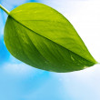 Fresh green leaf over blue background — Stock Photo