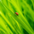 Ladybug on a fresh grass — Stock Photo