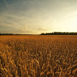 Wheat field - Photo