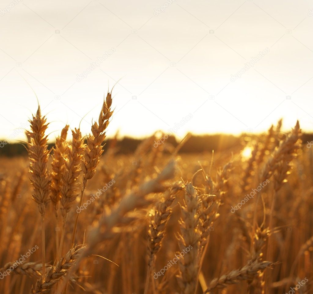 Wheat field  Stock Photo #5893476