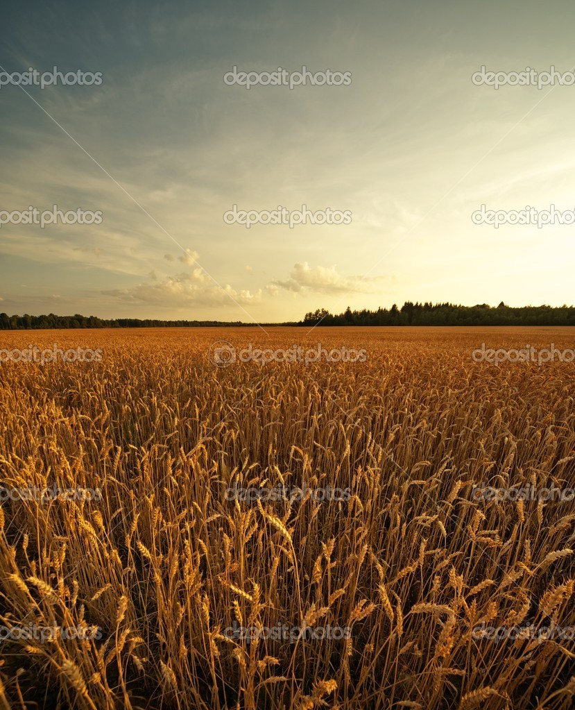 Wheat field — Photo #5893536