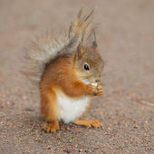 Squirel with a nut — Stock Photo