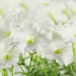 Stock Photo: Hothouse plant petunia