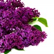 Lilac flowers isolated against white — Stock Photo