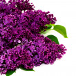 Stock Photo: Lilac flowers isolated against white