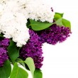 Stock Photo: Beautiful lilac