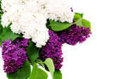 Schöne lila — Stockfoto