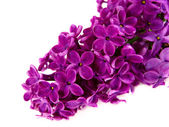 Lilacs — Stock Photo