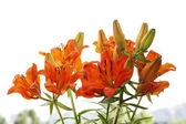 Tiger lily flowers — Stock Photo