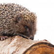 Hedgehog — Photo