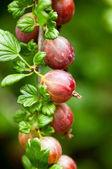 Gooseberries — Stock Photo