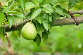 Pear on tree — Stock Photo