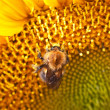 Bumblebee on sunflower — Stock Photo