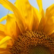 Sunflowers — Stock Photo #6312775