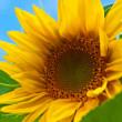 Stock Photo: sunflowers