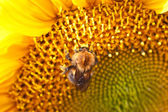 Bumblebee on sunflower — 图库照片