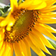Sunflower — Stock Photo #6429892