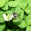 Bee pollinating the clover flower — Stock Photo