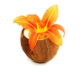 Beautiful lily flower on coconut — Stock Photo