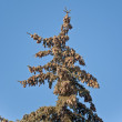 A fur-tree against the blue sky — Stock Photo #5498898