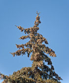 A fur-tree against the blue sky — Stock Photo