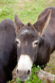 Donkeys grazing — Stock Photo