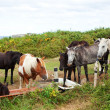 Herd of horses grazing - Stock Photo