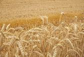Ears of corn — Stock Photo