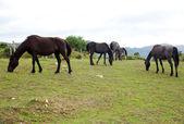 Herd of horses grazing — Stock Photo