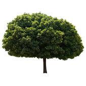 Maple tree. — Stock Photo