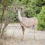 Wild impala — Stock Photo #6506049