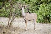Wild impala — Stock Photo