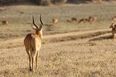 Gazelle — Stockfoto