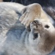 Baby seal — Stock Photo #5911698