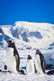 Three penguins — Stock Photo