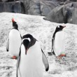Three penguins — Foto Stock