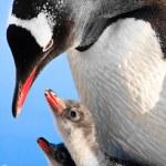 Penguin Family — Stock Photo #5947414