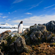 Penguin protects its nest — Stock Photo #5947425