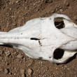 Animal skull — Stock Photo #5947970