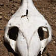 Animal skull — Stock Photo #5947972