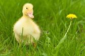 Little duckling — Stock Photo