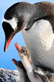 пингвин семья — Стоковое фото