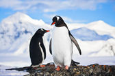 Penguins dreaming on a rock — Stock Photo