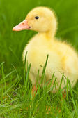 Little duckling — Stock Photo