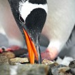 Stock Photo: Black and white penguin