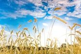 Ripe wheat spikes — Stock Photo