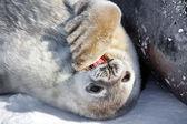 小海豹 — 图库照片