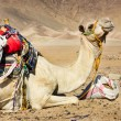 Stock Photo: Tired camel