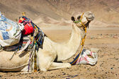 Tired camel — Stock fotografie