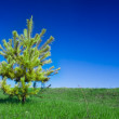 Single spruce tree — Stock Photo